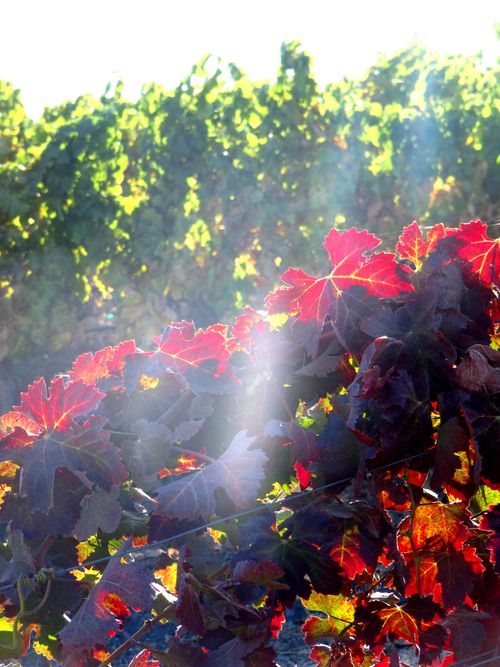 Syrah and Grenache Blanc in the sun