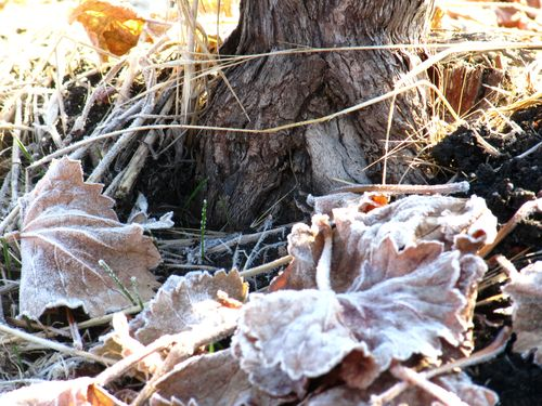 Grape  leaves and trunk with frost