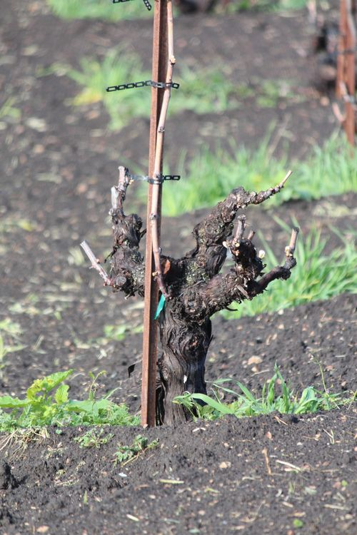 Head-trained mourvedre April 2014
