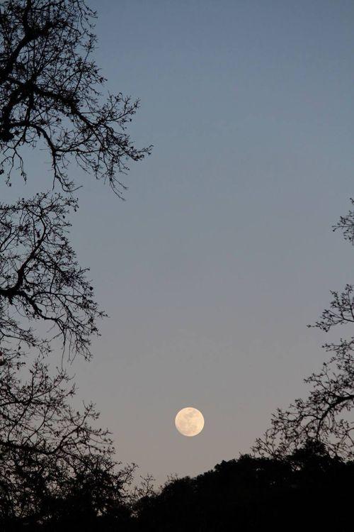 Moon between oaks