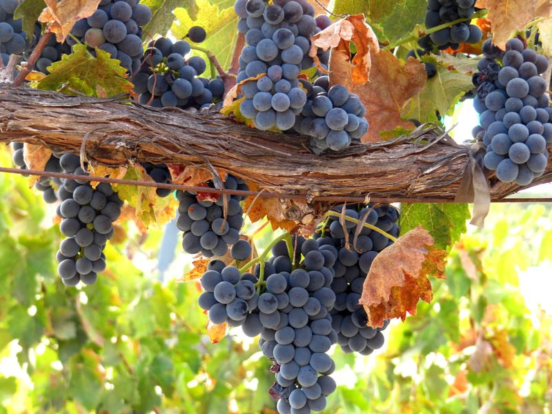 Bounty of Harvest - Syrah