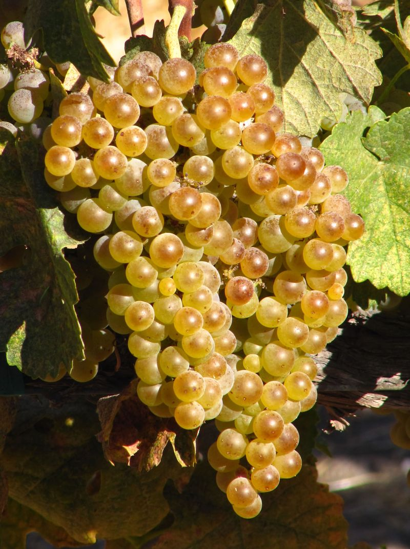 Roussanne mid-September