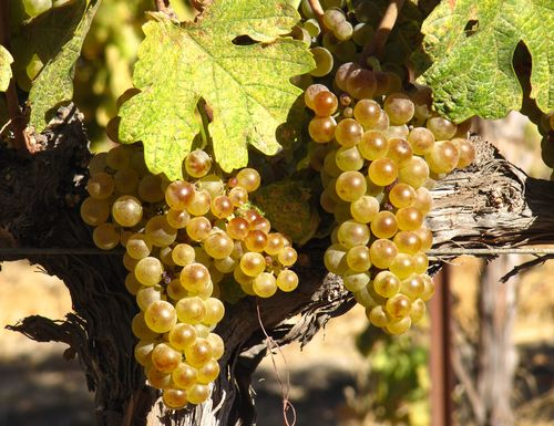 Roussanne mid-September 2