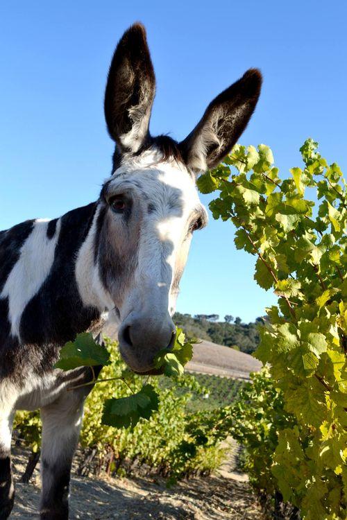 Dottie back in the vineyard