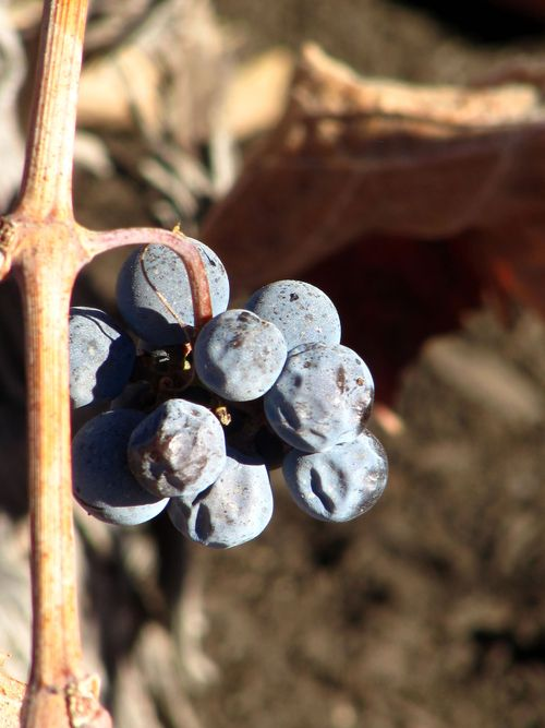 Second Tannat crop