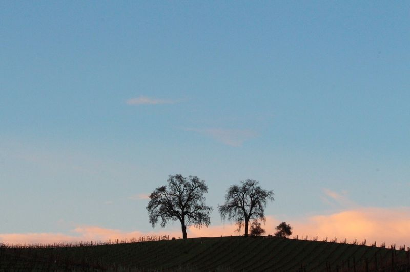 Pink and blue sky behind oaks
