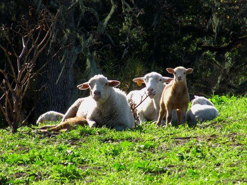 2015 Lambs 2