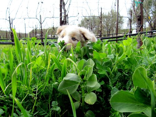 Sadie in the Cover Crop