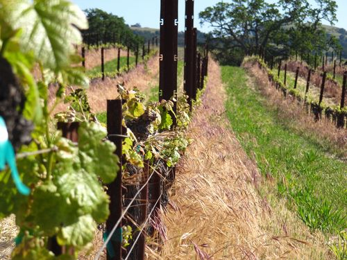 Mourvedre row