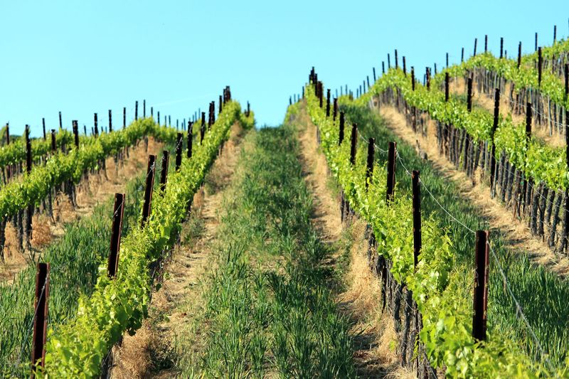 Grenache hill with regrowing cover crop