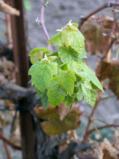 Tannat regrowth_med