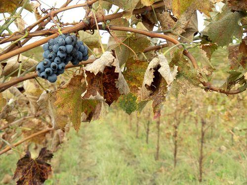 Fall Mourvedre Cluster_med