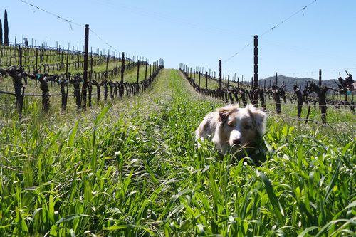 Sadie in the cover crop