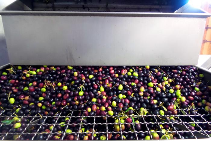 Olives Grate Sorter