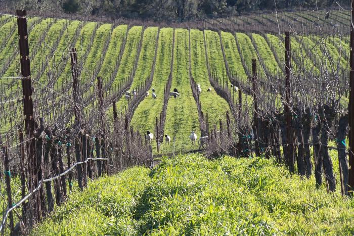 Animals in vineyard