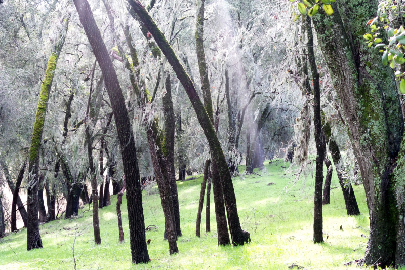 Lichen draped oaks