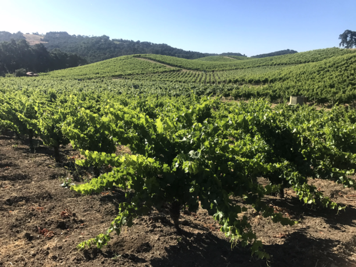 Long View From Head-Trained Grenache
