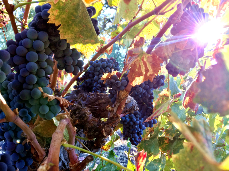 Mourvedre head trained