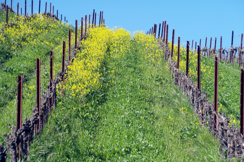 Mustard in the vine rows