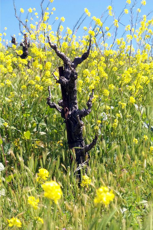 Mourvedre in Mustard