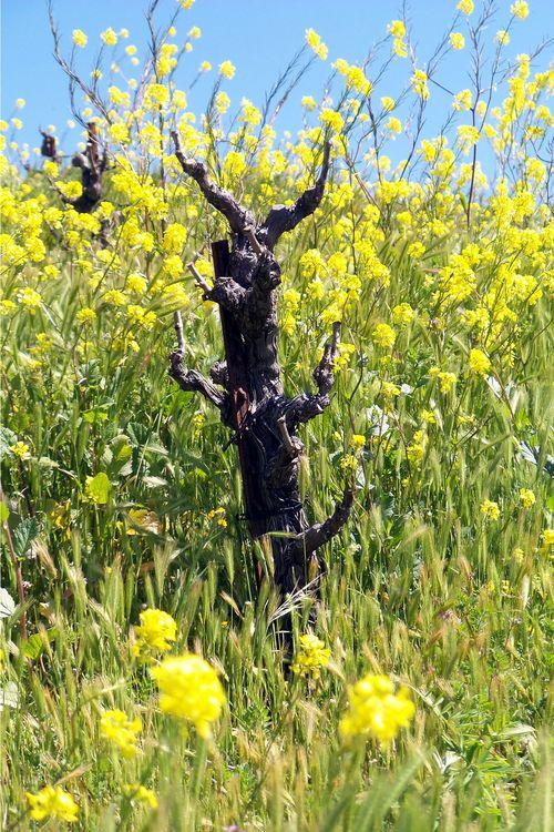 Mourvedre in Mustard