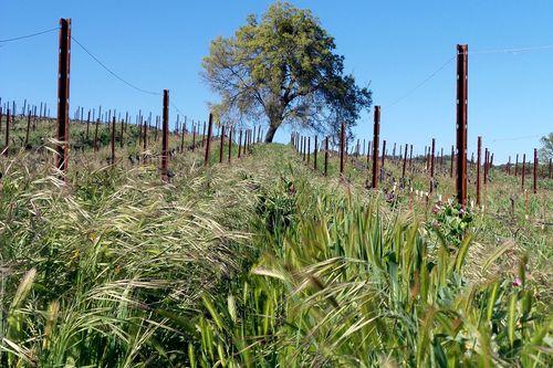 Lush cover crop