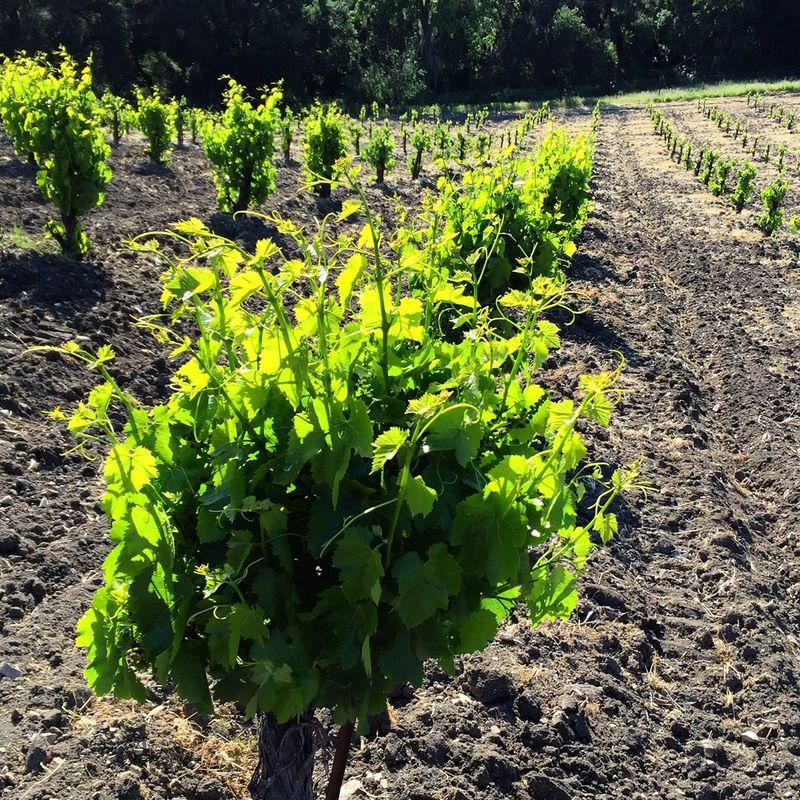 Scruffy Grenache vine
