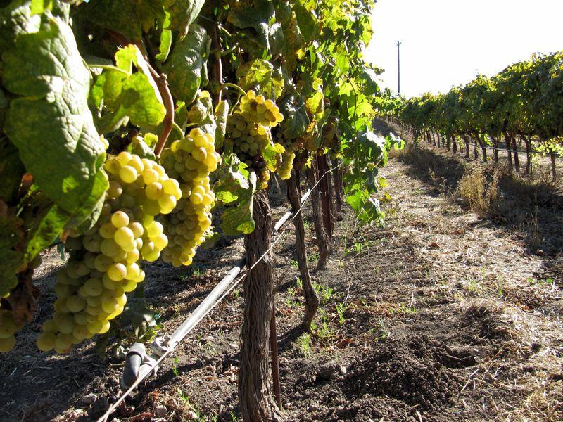 Grenache Blanc ready for harvest