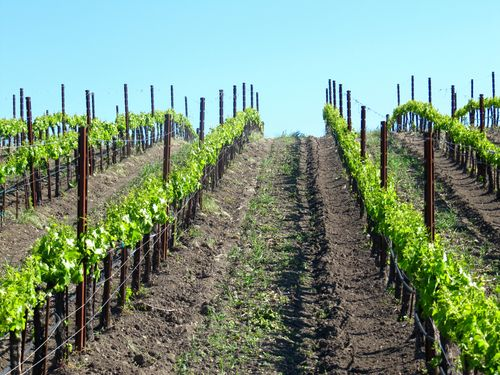 Grenache blanc rows in May