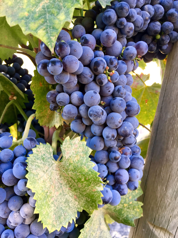 Mourvedre on Vine Sept 2016
