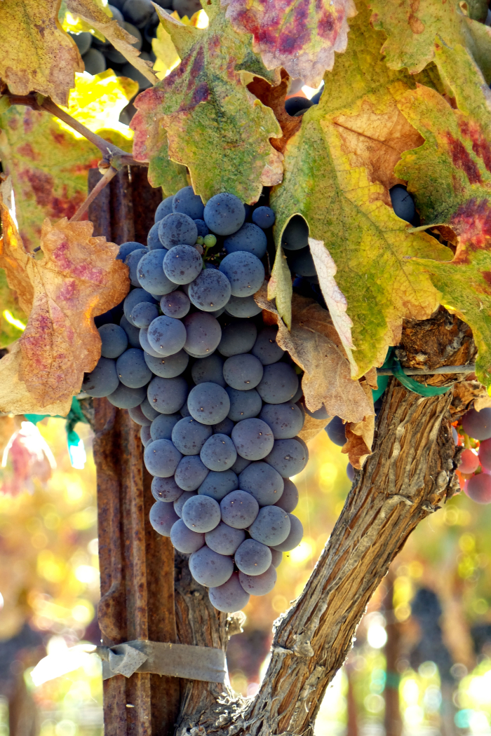 Late Mourvedre cluster