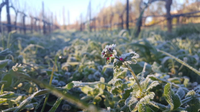 Frost on cover crop flower