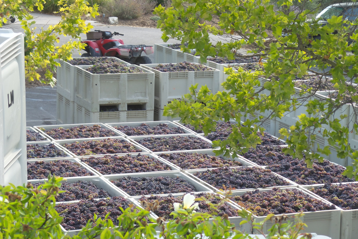 Harvest 2017 Bins of Grenache