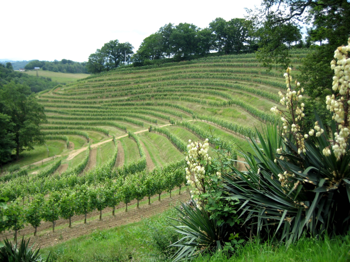 Jurancon vineyard