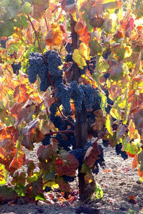 Tannat on the vine