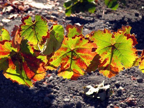 Tannat leaves