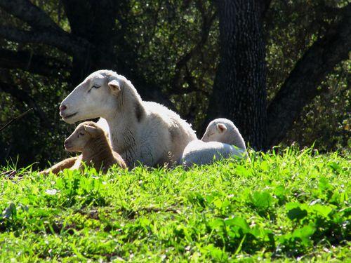 2015 Lambs 3