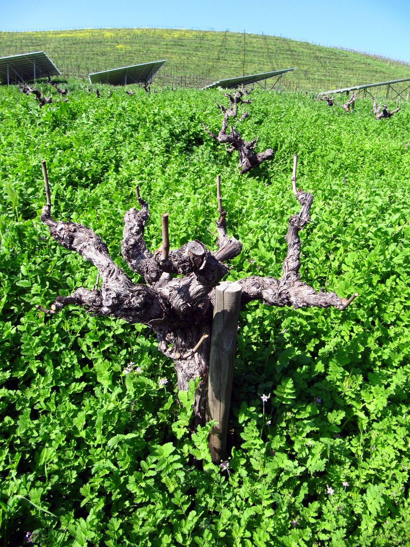 Looking up mt mourvedre