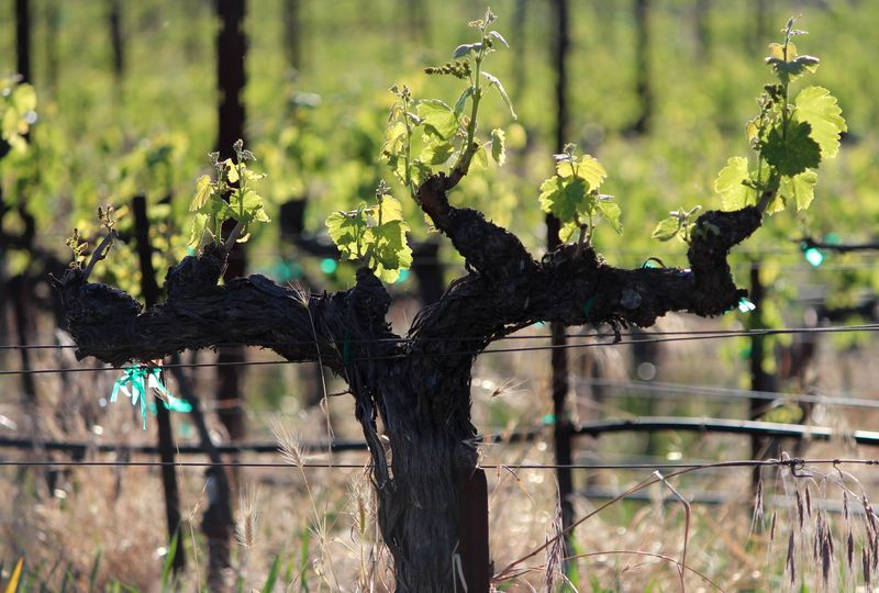 New Growth - Mourvedre