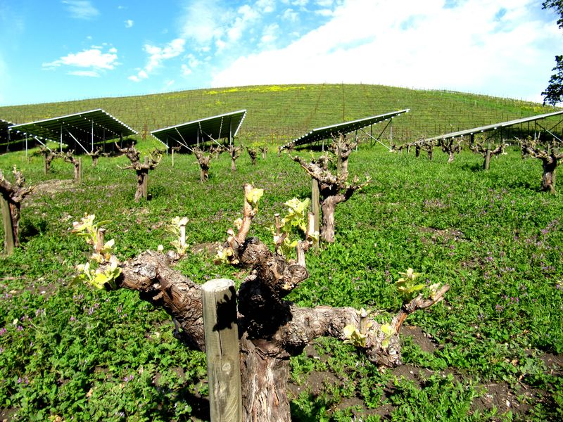 Mourvedre with solar panels behind