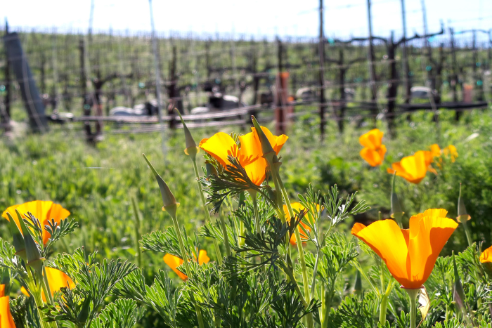 Poppies and animals