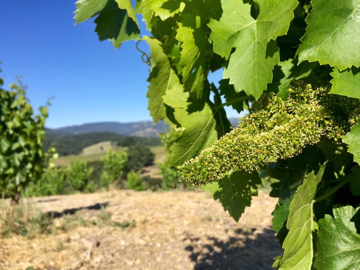 Flowering grenache on Scruffy Hill May 2018