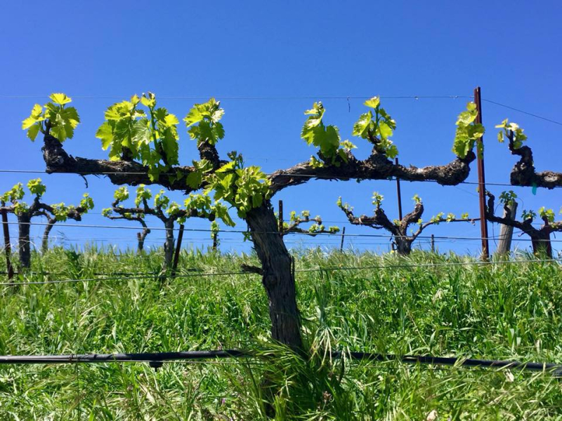 New Growth in Grenache