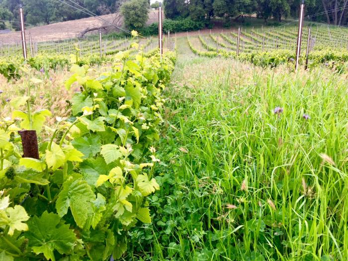 Haas Vineyard Cover Crop