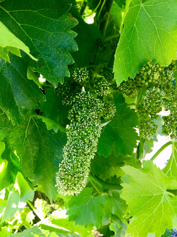 Flowering grenache on Scruffy Hill May 2018 2