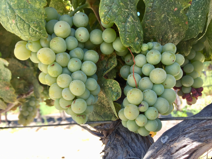 Roussanne cluster August 2018