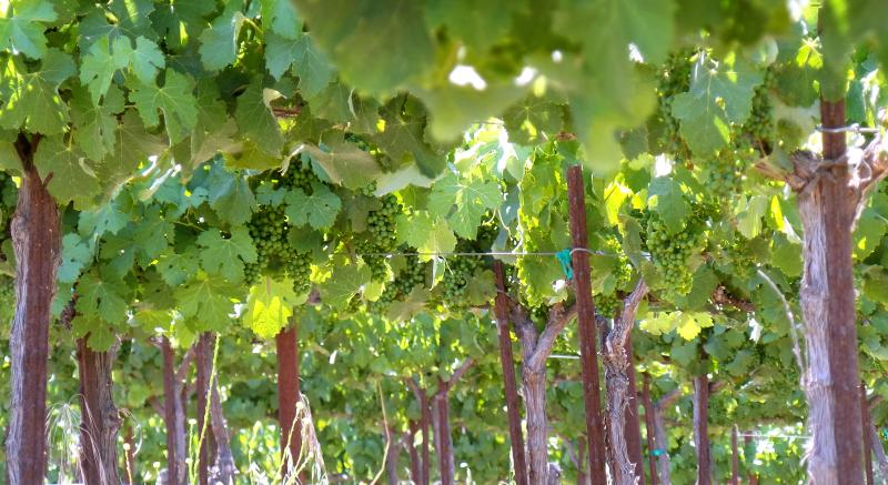 Vineyard Summer 2018 Under Counoise