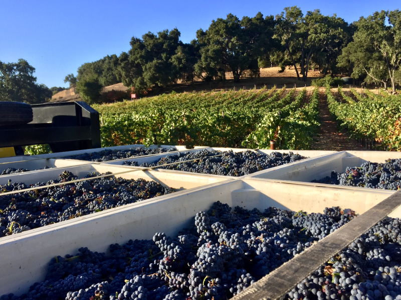 Full Circle Pinot harvest - bins and vines