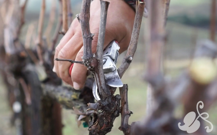 Pruning shears at Tablas Creek