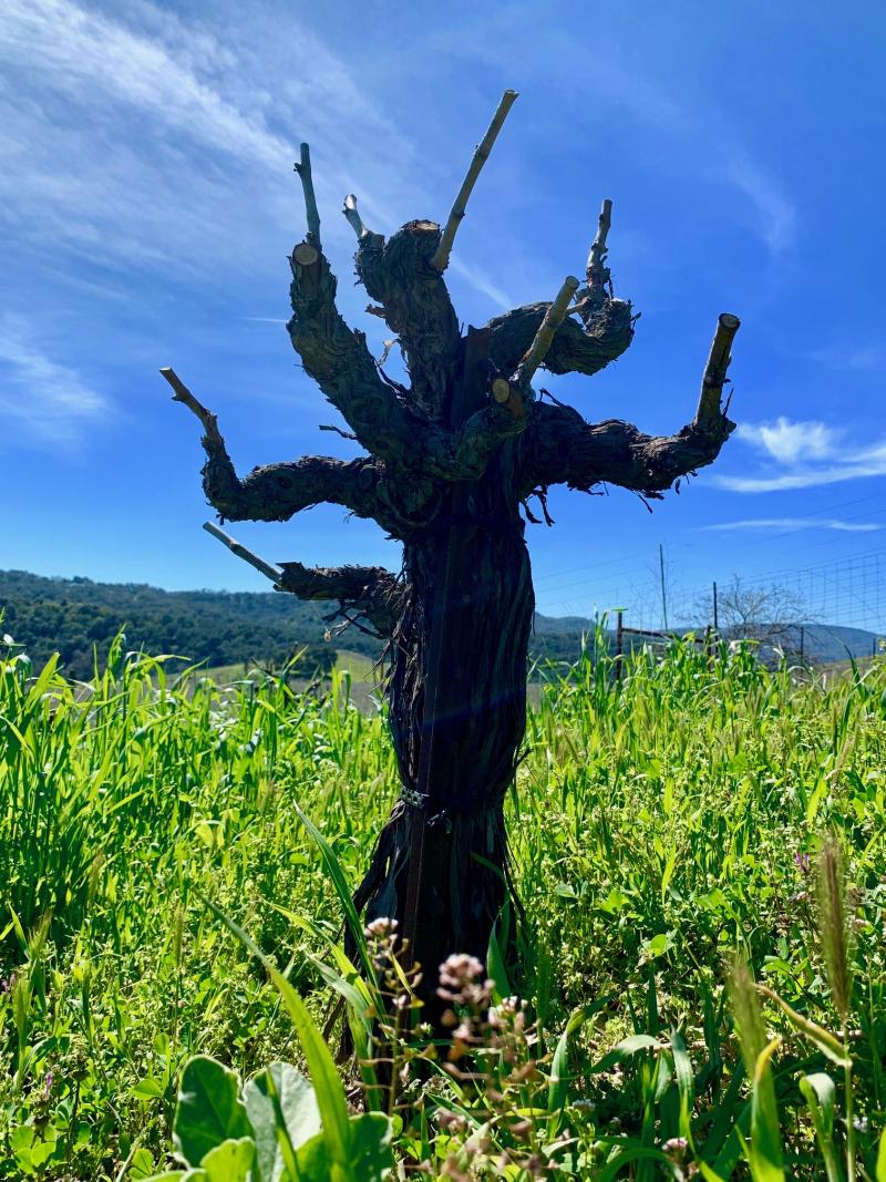 Head-trained Counoise vine at Tablas Creek